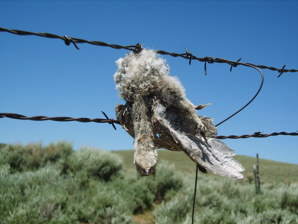 This grouse chick collided with a fence and was killed.