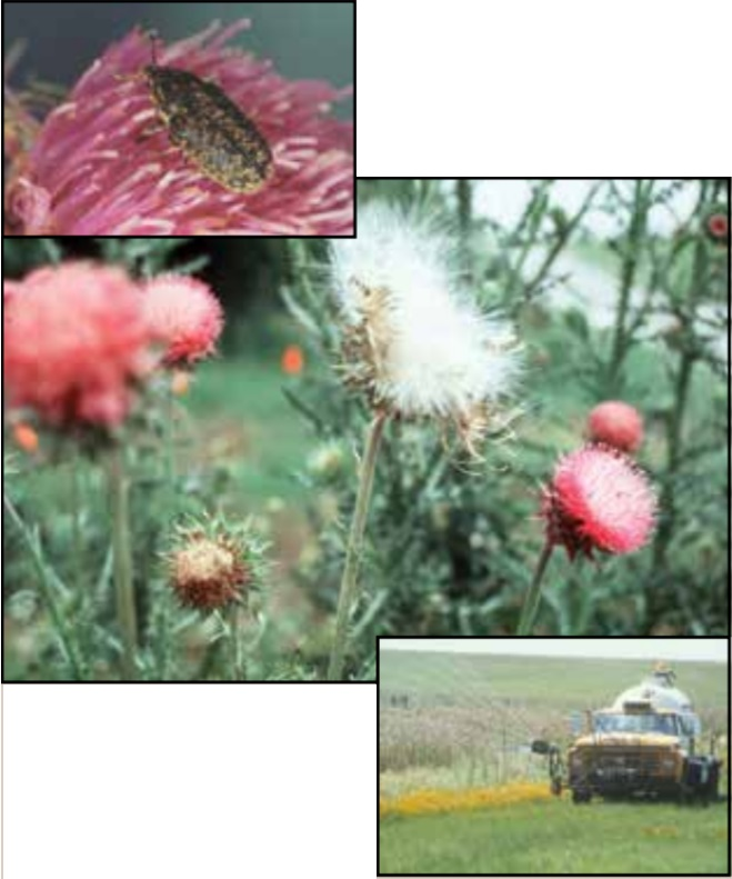 Collage of thistles.