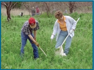 Two people applying herbicides to thistles.