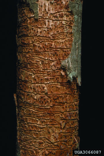 Cylindrical bark beetle that forms galleries beneath bark of ash trees