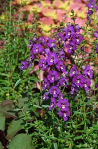 Angelonia angustifolia