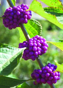 beautyberry fruit