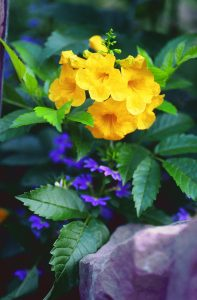 Yellow bells