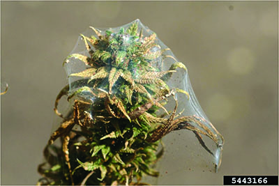 Two-spotted Spider Mite Webbing
