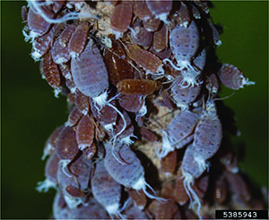 Wooly Maple Aphids