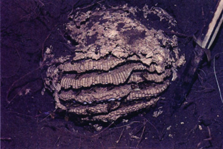 Exposed underground nest of eastern yellowjacket.