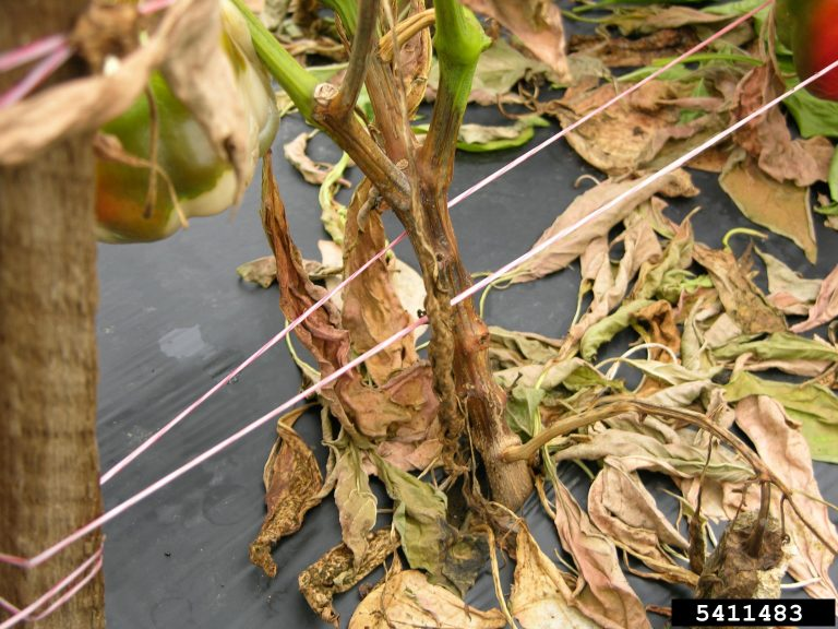 Crown rot of pepper caused by Phytophthora capsici.