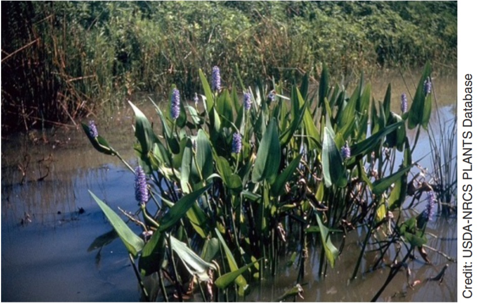 Pickerelweed in the water.
