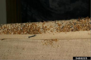 Bed bugs in used furniture.