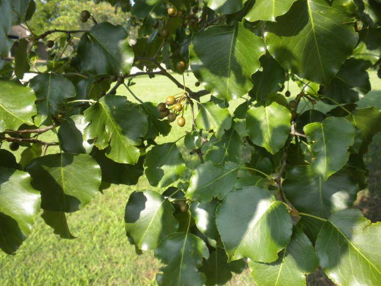 Example of Callery Pear.