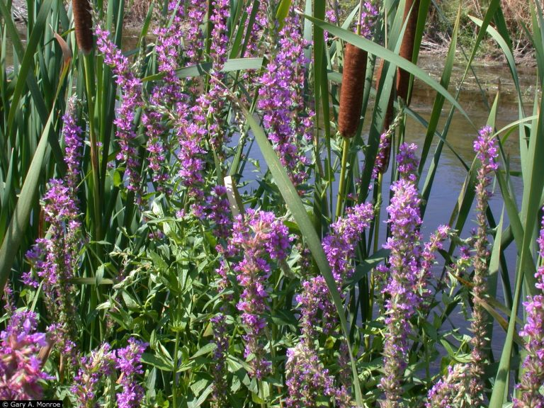 Example of Purple Loosestrife.