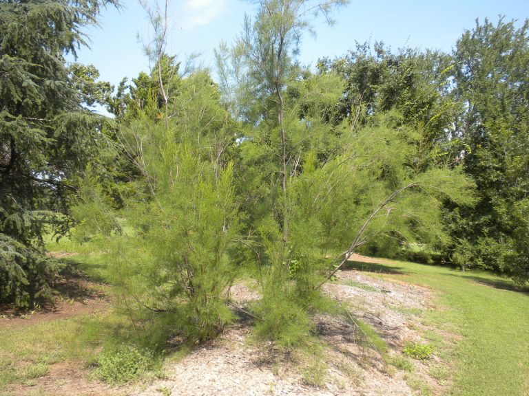Example of a Saltcedar plant.
