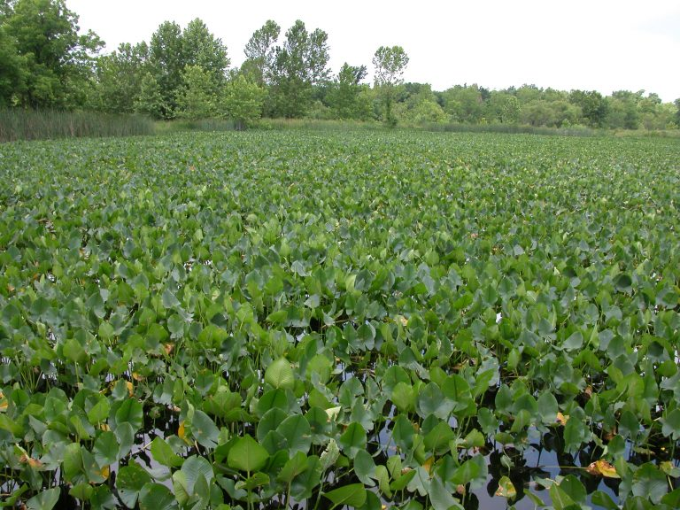 Example of a Water Hyacinth.