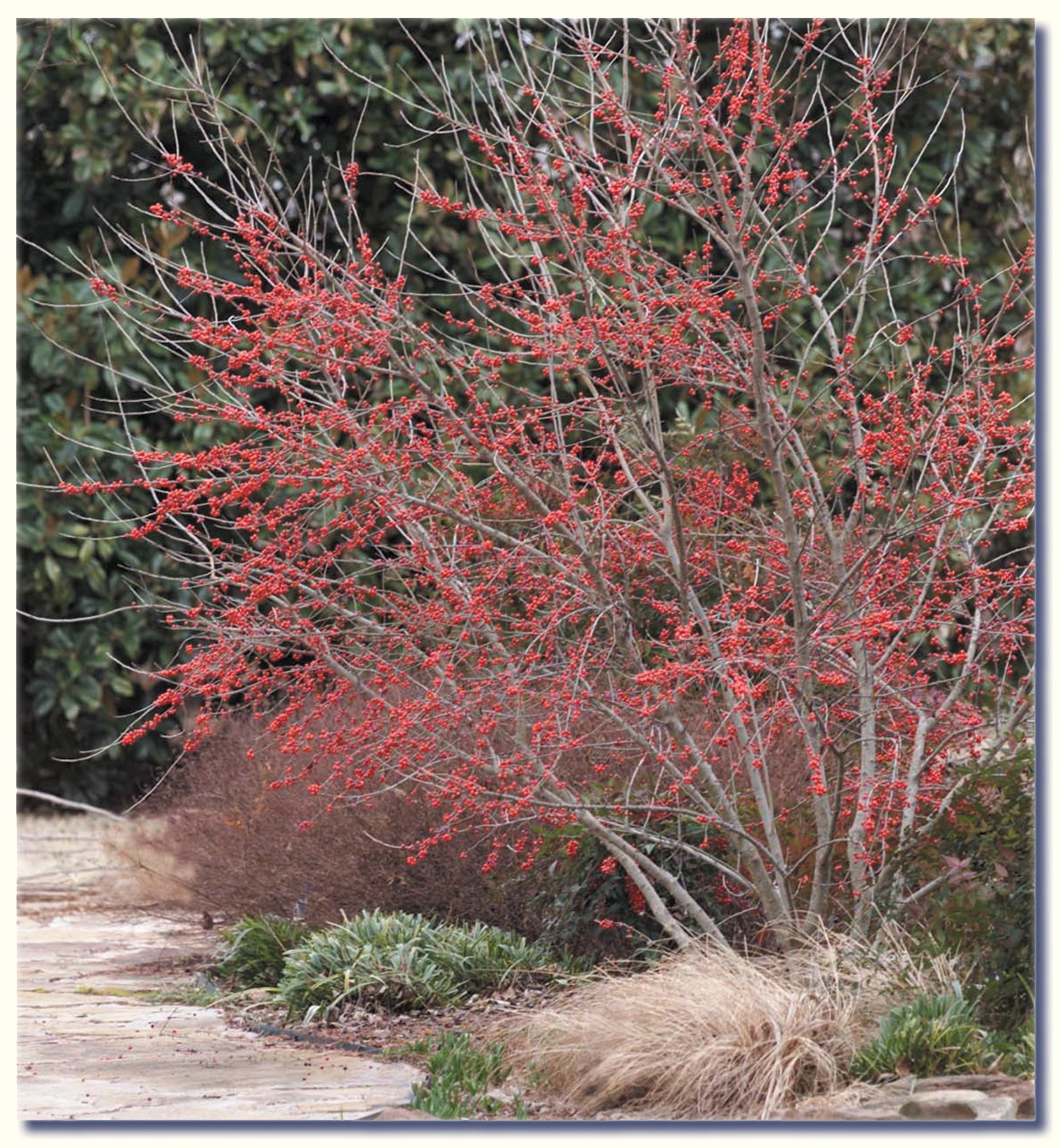 Selecting Shrubs For The Landscape Oklahoma State University
