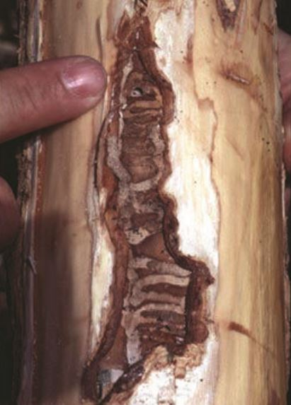 Damage to a tree trunk caused by larval feeding.