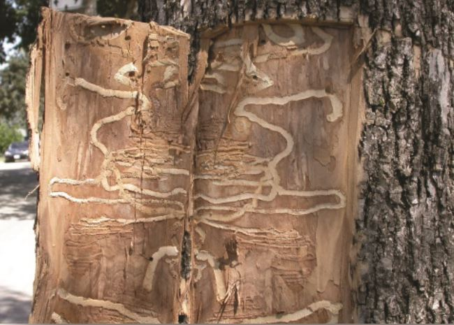 Swirling galleries in a tree trunk caused by larvae.