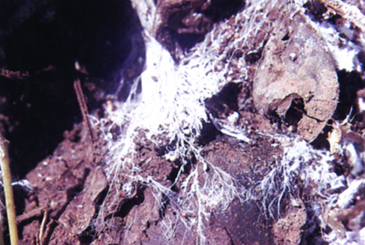 Mycelium of the southern blight fungus covering over the surface of moist soil
