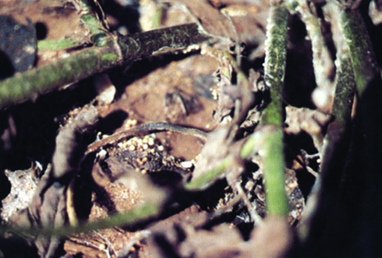 Close-up of the southern blight fungus