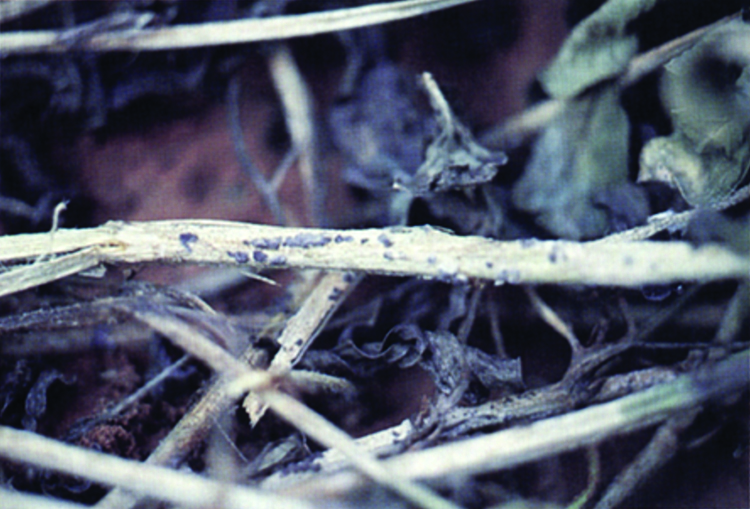 Irregularly shaped sclerotia of sclerotinia