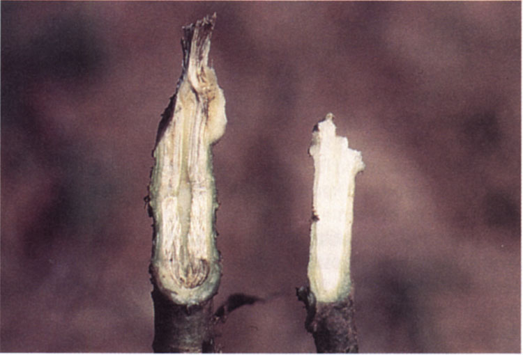 A comparison between a vascular crown discolored by Verticillium wilt and a healthy crown.