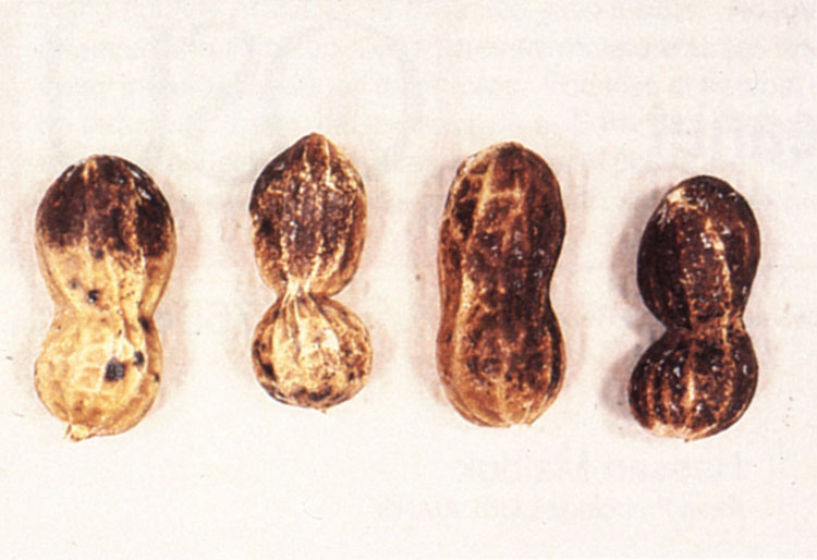 Superficial black discoloration of pods caused by black hull.