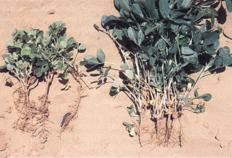 Comparison of a stunted plant verses a healthy plant.