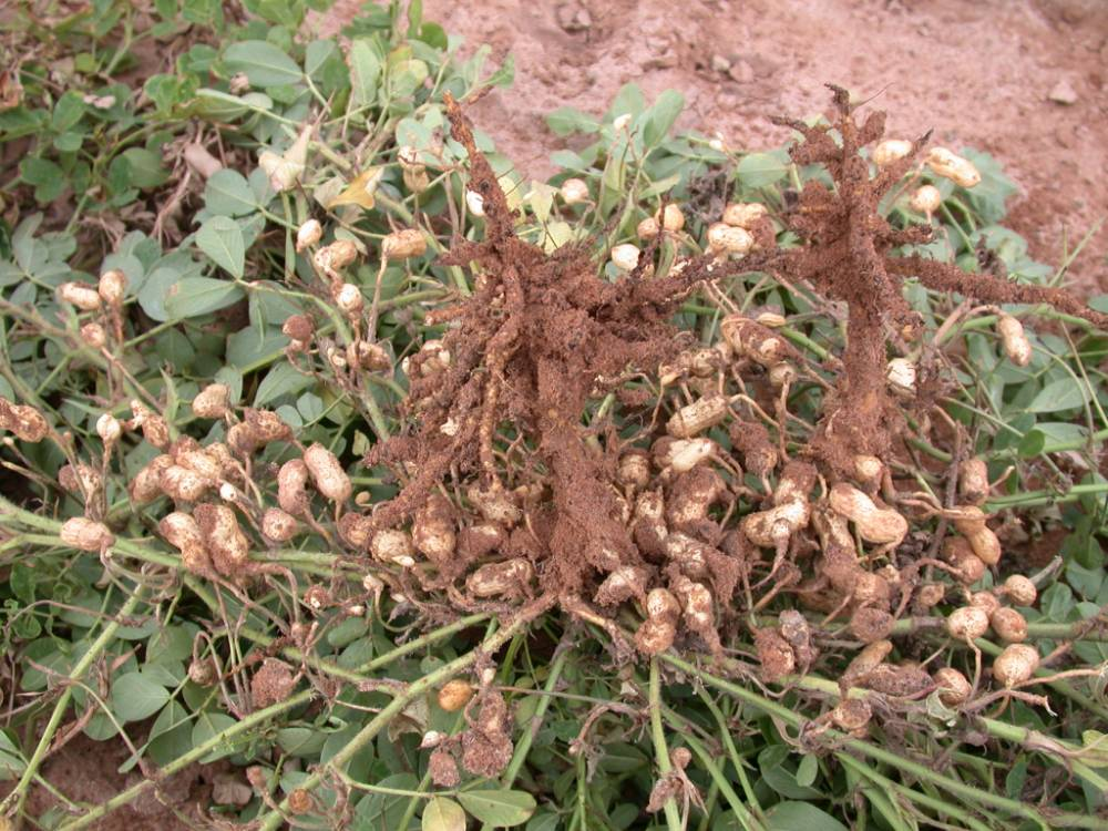 Large galls and swollen root system in a pile caused by the peanut root-knot nematode.