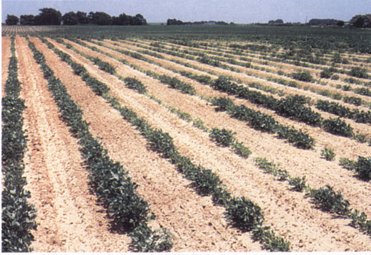 Clumped distribution of stunted plants in a field caused by the northern root-knot nematode.