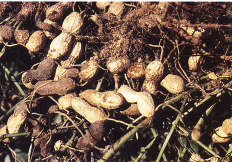 Various stages of Pythium and Rhizoctonia pod rot peanuts in a pile.