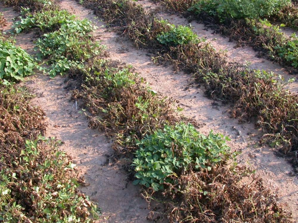 Plants in a field killed at mid-season by Phymatotrichum root rot.