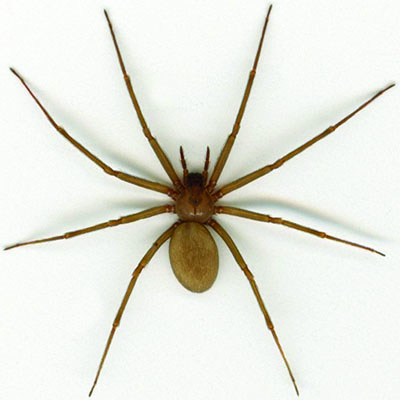 Spiders Brown Recluse Black Widow And Other Common Spiders Oklahoma State University