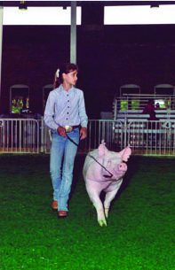 A girl guiding a pig around the ring with its head up.