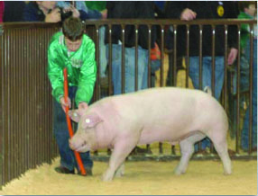 Little boy trying to get his pig out of the show ring corner with a driving tool.