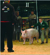 A boy showing the pig and using a driving tool.
