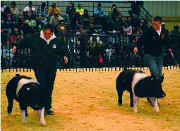 Two handlers showing their hogs in the show ring.