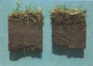 Photo of cores taken from two bermudagrass turfs.