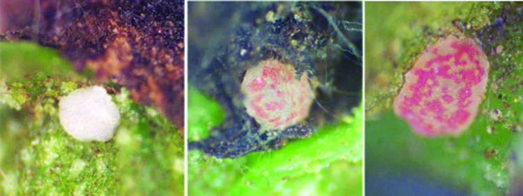 Three images of a pecan nut casebearer eggs changing color.