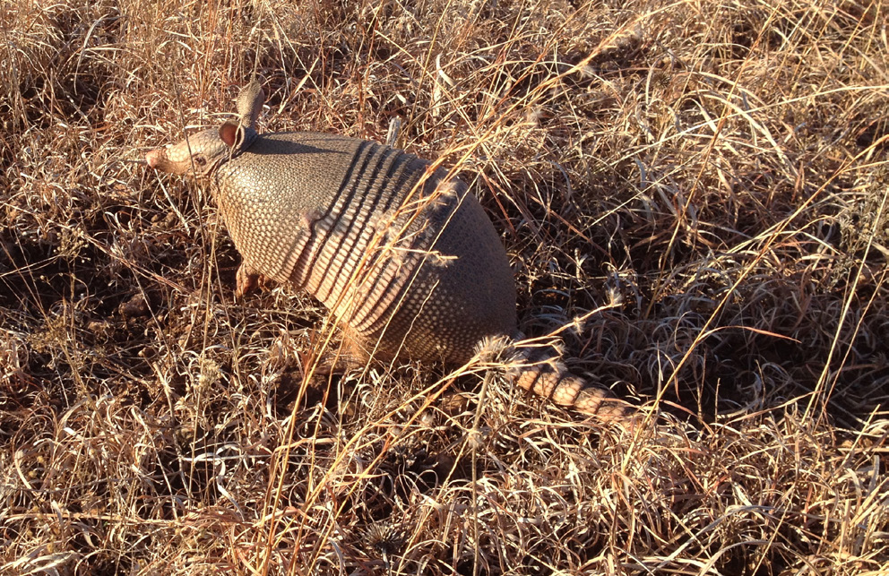 Armadillo standing on a lawn.