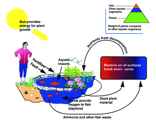 Pond Ecosystem shown through an illustration.