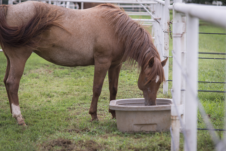 A horse drinking water from a bucket.