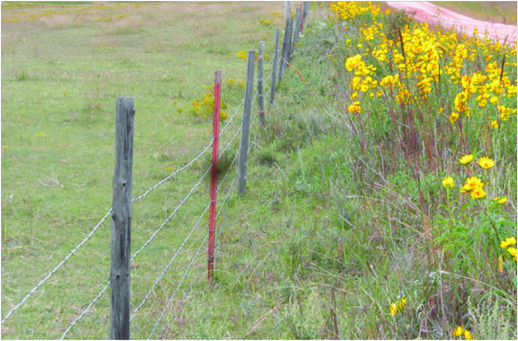 Maximilian sunflower and palatable forb is readily eaten by wildlife and livestock and they are absent in the pasture as well as in the ditch as far as the cattle can reach through the fence.