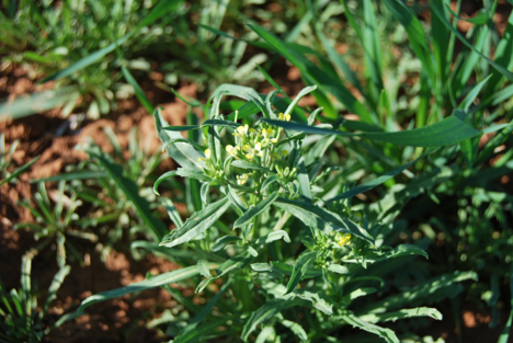 Bushy wallflower at an early reproductive stage.