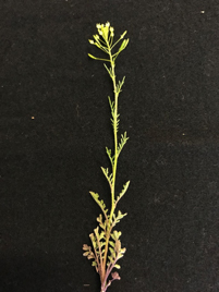 Complete plant profile of tansymustard.