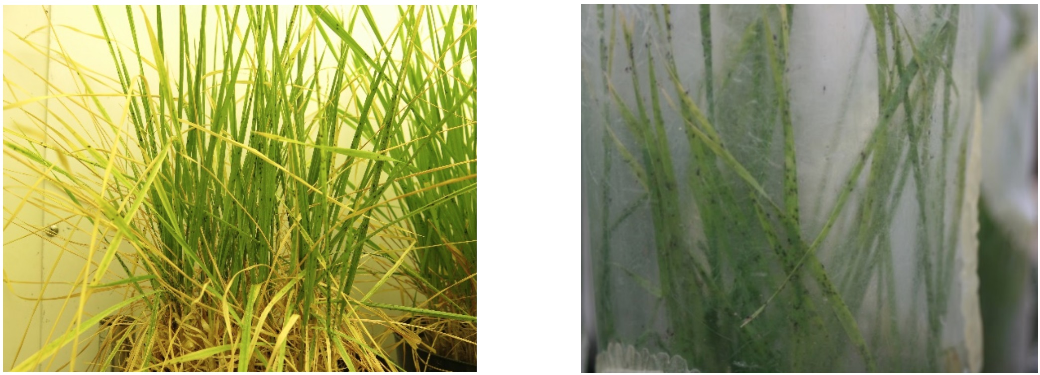 Plant damage from BCOA feeding in controlled-environment assays were consistent to previous evaluations on susceptible entries, such as Jagger (left). BCOA source colony maintained by Zarrabi and Giles (right).