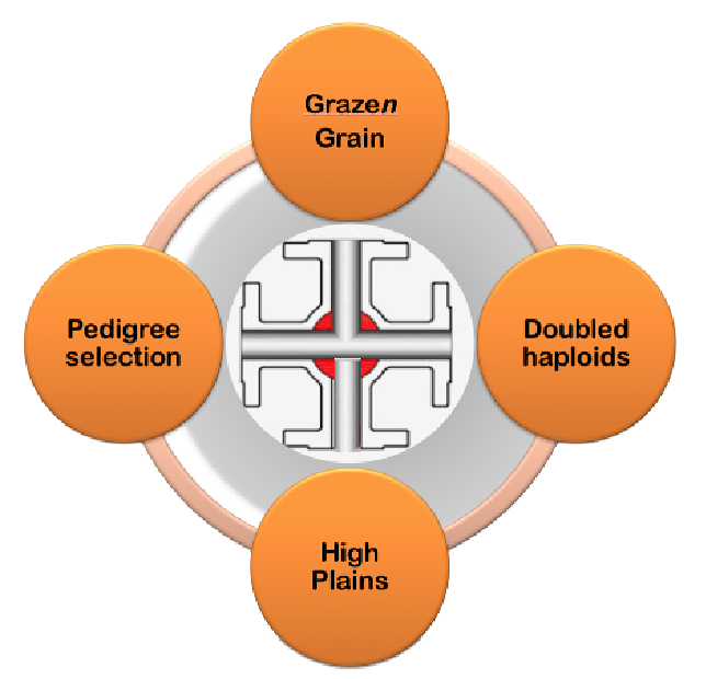 The OSU wheat variety development pipeline is, in practice, four pipelines of germplasm, each originating early in the breeding process, or one to three years after the cross.