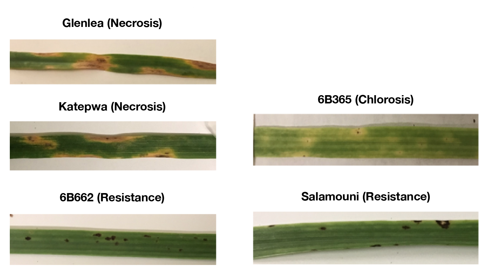Symptoms caused on wheat leaves by toxins produced by Pyrenophora tritici-repentis (causal fungus of tan spot of wheat).