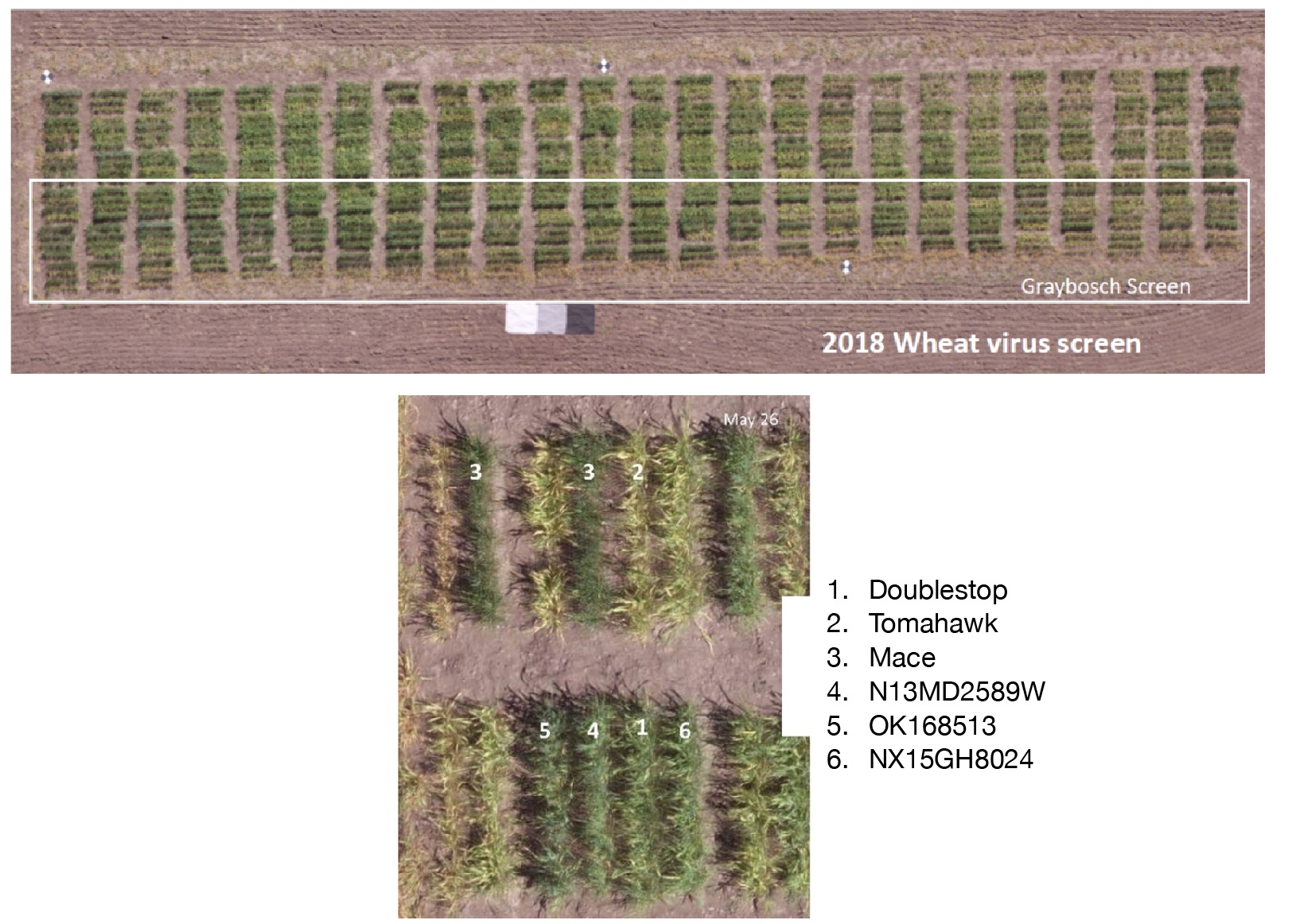 Aerial view of the wheat streak mosaic screening nursery in Nebraska (top photo). The bottom photo is a closer view of individual wheat lines containing Doublestop CL+, Tomahawk (susceptible check), Mace (resistant check) and a WIT experimental line confirmed to carry the gene Wsm1 that will be further discussed in Carver's report.