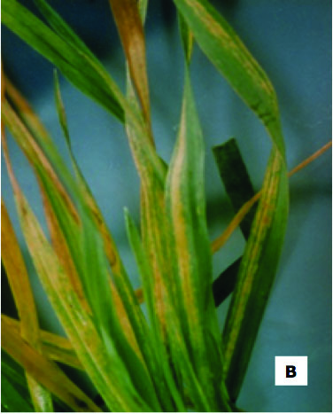 Symptoms of wheat streak mosaic2
