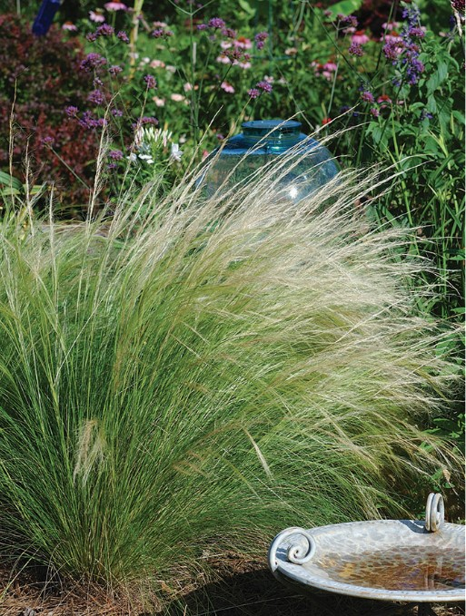 Ornamental Feather Grass.