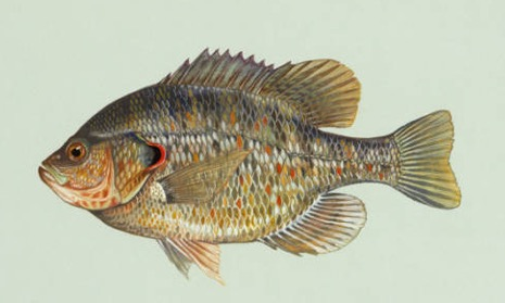 A drawing of a redear sunfish.